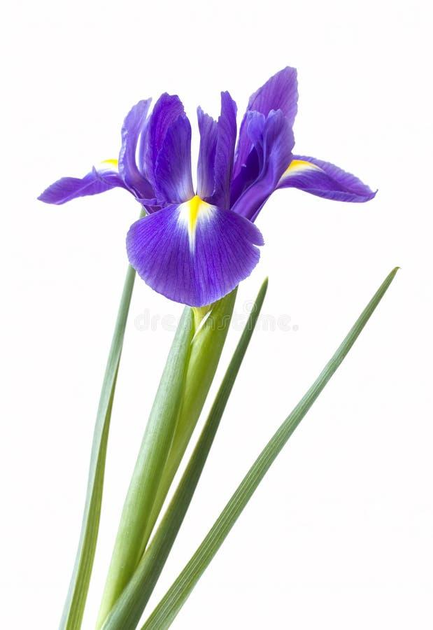 Single purple iris flower royalty free stock photo