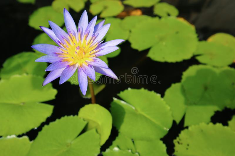 Purple lotus in the pond with green leaves background stock photography