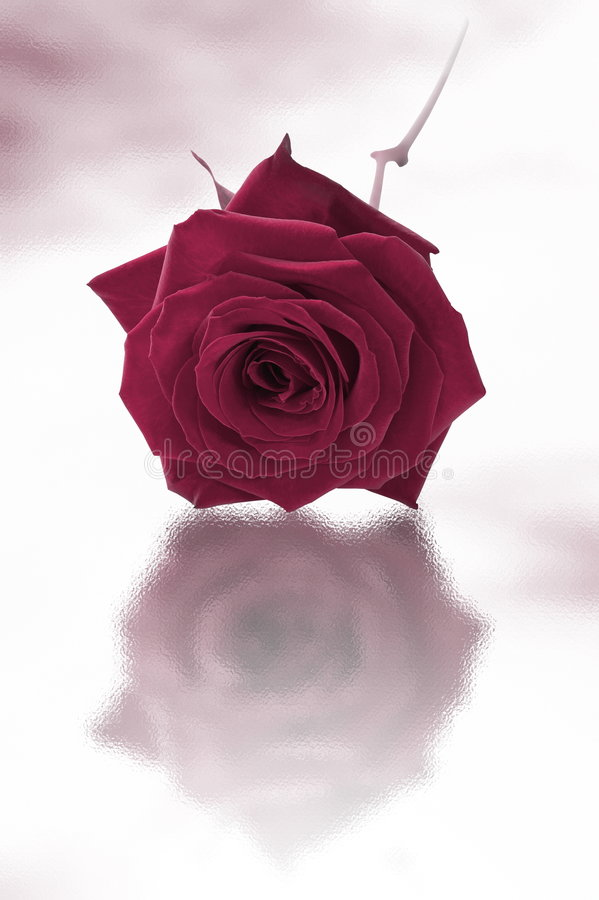Download Single purple rose stock photo. Image of border, space - 5551924