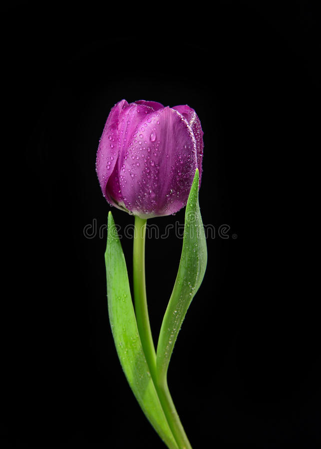 Single Purple Tulip flower with water drops on a black background. With copy space for text stock photos
