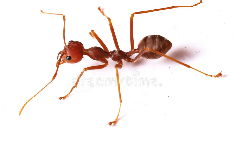 Single Red Ant stock images