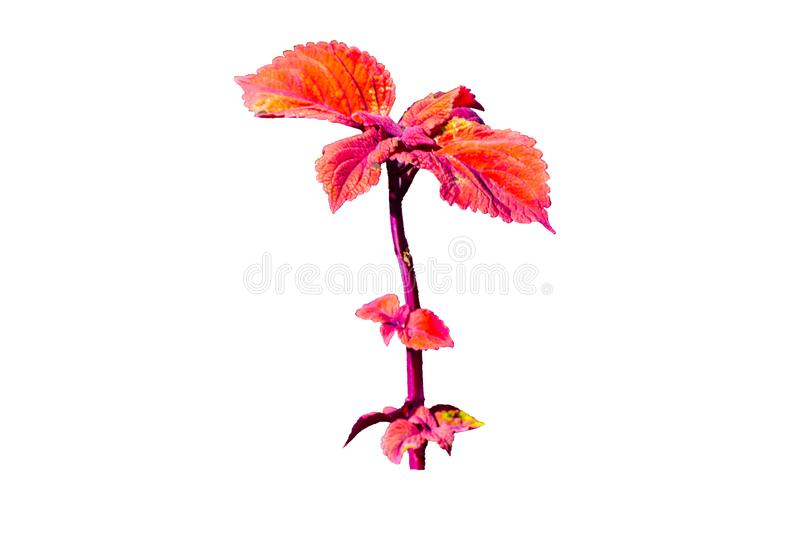 Single Red Coleus leaf plant in the family Lamiaceae isolated on white background. A Single Red Coleus leaf plant in the family Lamiaceae isolated on white stock photo