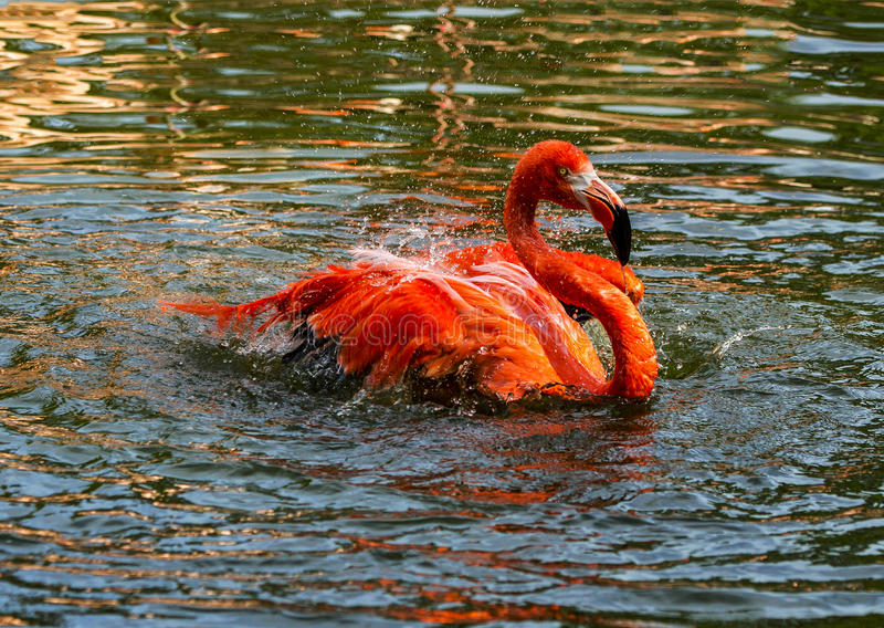 A single red Flamingo splashing and wading around in the water. royalty free stock photography