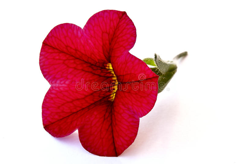 Single red flower stock image