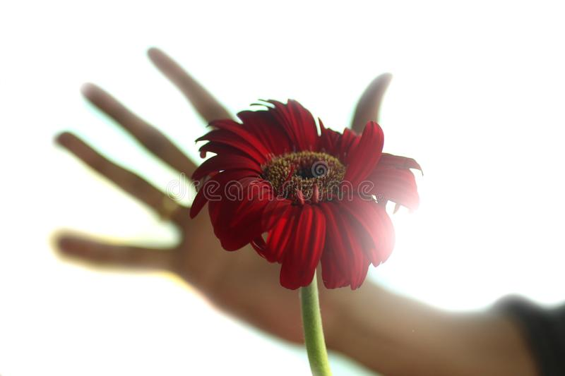 An abstract image of a beautiful red gerbera flower head blossom with a blurry human hand trying to holding it. stock photography