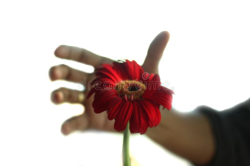 A single red flower head and a man fingers shadow in the background trying to reach the flower. Gerbera daisy flower, a perennial stock photos