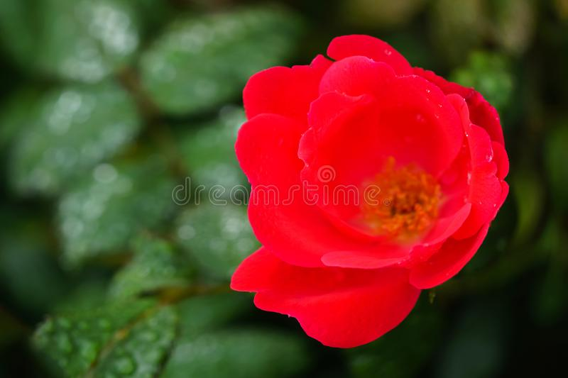 Single red knockout rose. On a bush and wet with rain drops royalty free stock images