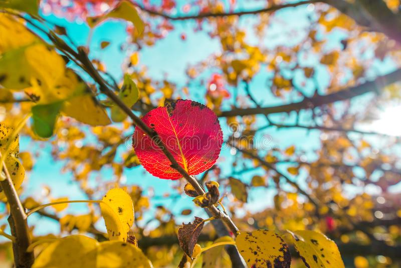 A single red leaf still hanging on a branch with other yellow leaves. Beautiful, colorful autumn background royalty free stock photo