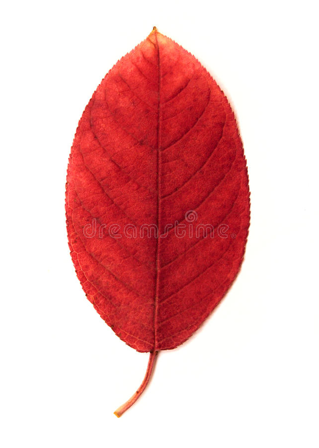 Single red leave stock image