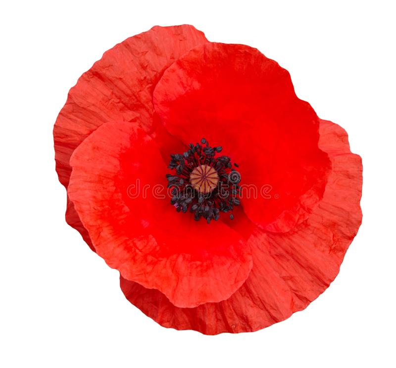 Free Single Red Poppy Isolated On White Background.Top View Royalty Free Stock Image - 106655536