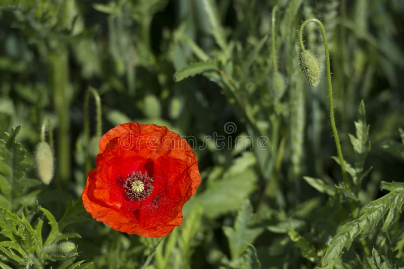 Single red poppy, with green blurred background. Single red poppy, Papaveraceae set against green blurred background stock photos