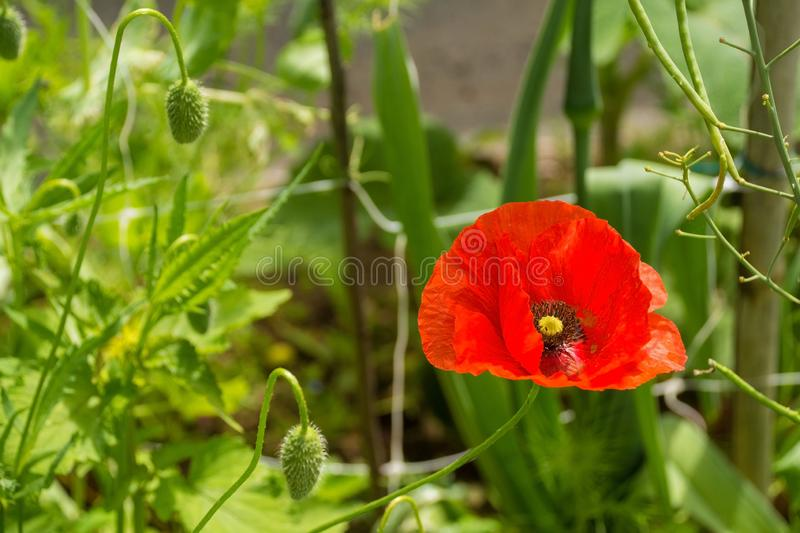 Single Red Poppy. A red poppy and several buds in sunlight with various grasses and other plants in the background. Photographed in north east Italy stock image