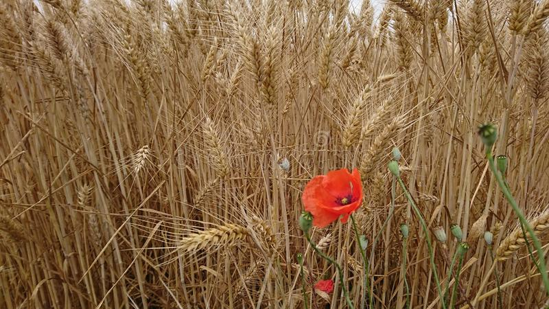 Red poppy in wheat field royalty free stock image