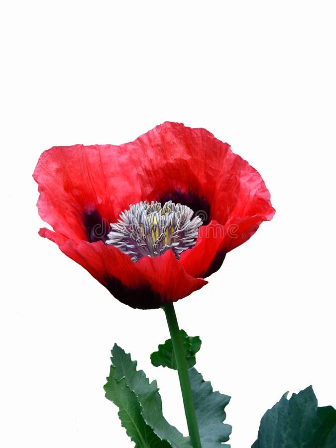 Single red poppy. royalty free stock photography
