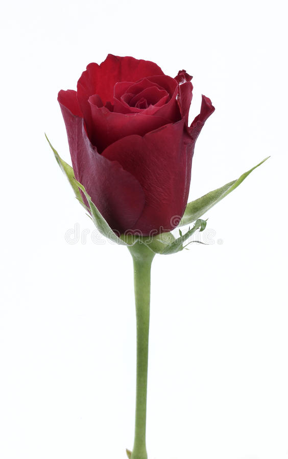 Download Single red rose stock image. Image of love, romance, rose - 10436541