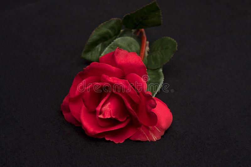 Download Single Red Rose Stock Image - Image: 11096961