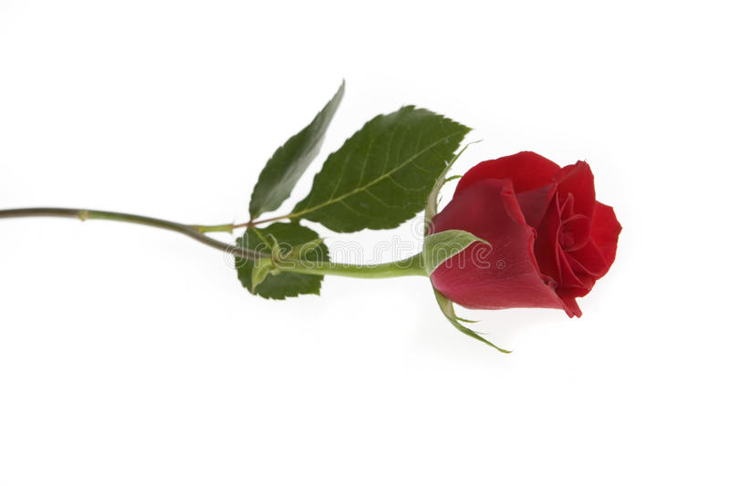 Single Red Rose. Over a White Background royalty free stock photo
