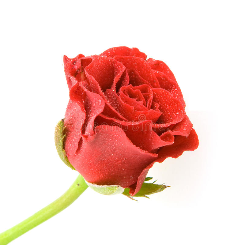 Download Single red rose stock image. Image of valentine, dating - 12593377