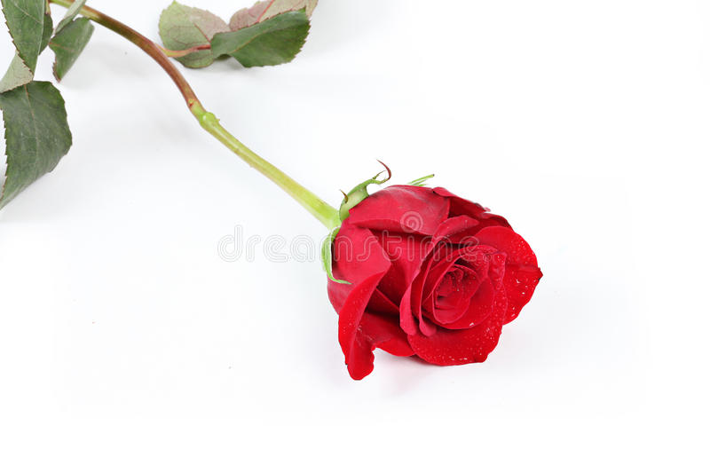Download Single red rose stock image. Image of love, romantic - 13081315