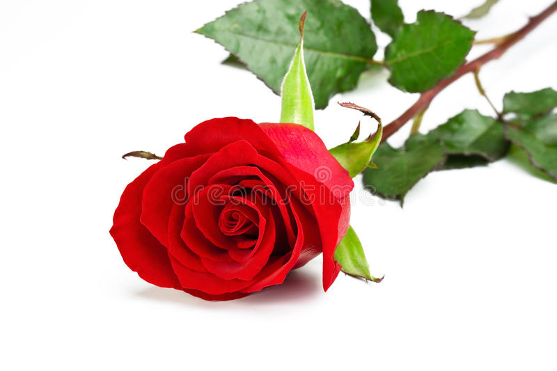 Beautiful Single Red Rose Flower Isolated Royalty Free: Single Red Rose Stock Image. Image Of White, Petals