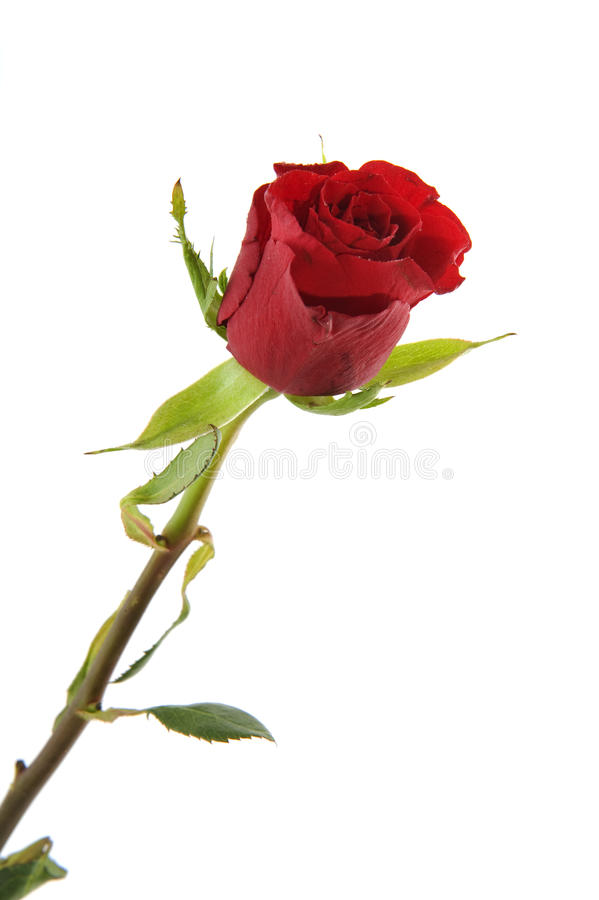 Download Single red rose stock photo. Image of nature, holidays - 13224510