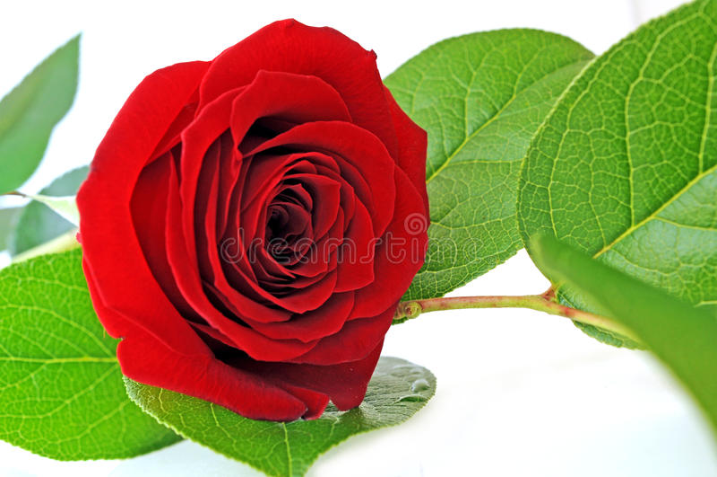 Download Single red rose stock photo. Image of background, celebration - 28686984