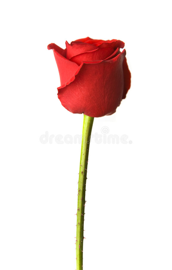 Download Single Red Rose stock photo. Image of affection, blossom - 4449116