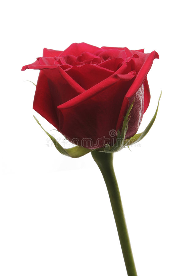 Free Single Red Rose Royalty Free Stock Photo - 5511245