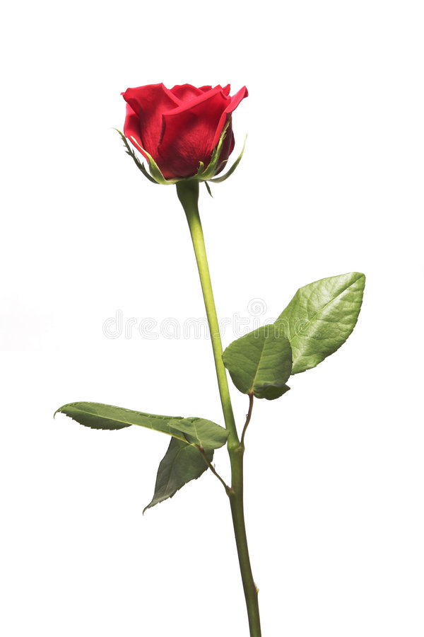 Free Single Red Rose Royalty Free Stock Photography - 5580917