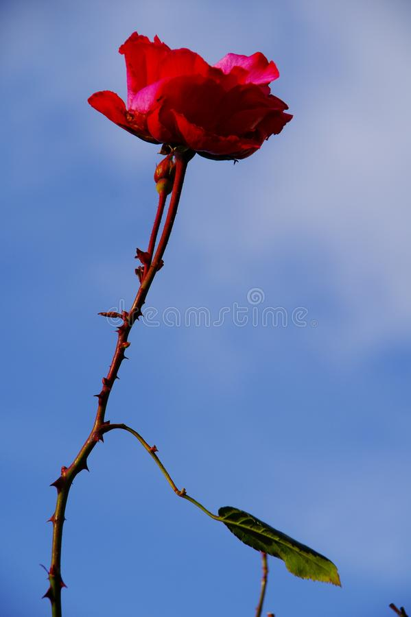 Single red rose against a blue sky royalty free stock images