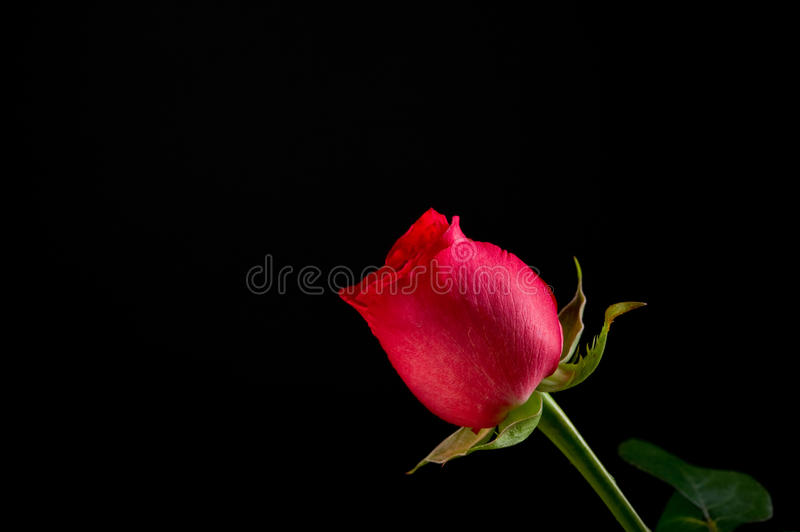 Download Single Red Rose On Black Background Royalty Free Stock Photo - Image: 12514075