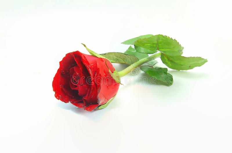 Single red rose flower isolated royalty free stock images