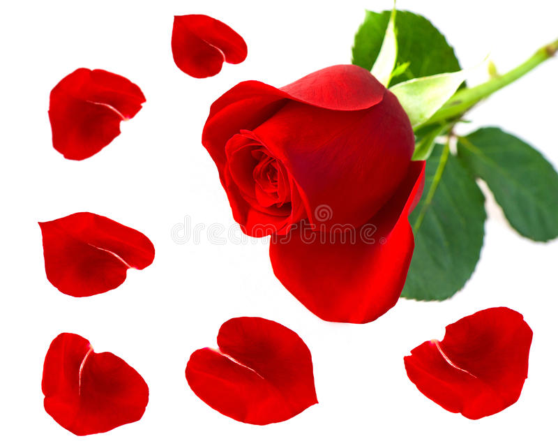 Single Red Rose Flower With Petals Royalty Free Stock