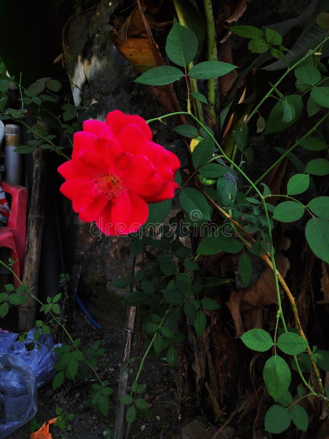 A single red rose flower with tree stock image
