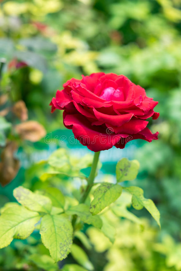 Single red rose on green stalk. Background royalty free stock photo
