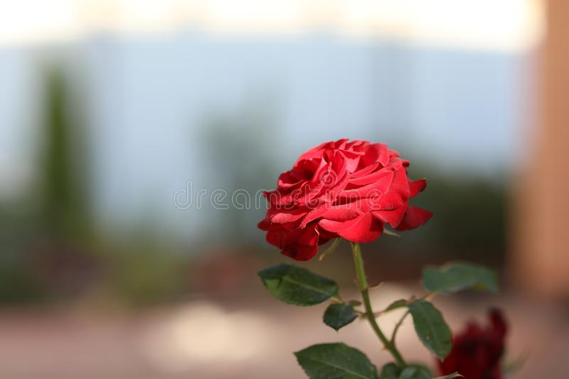Single red rose on an indistinct background. stock image