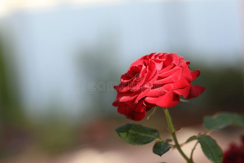 Single red rose on an indistinct background. royalty free stock photo