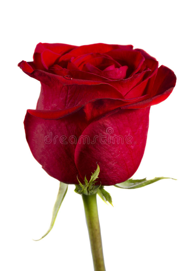 Download Single red rose stock photo. Image of blossom, valentine - 30594702