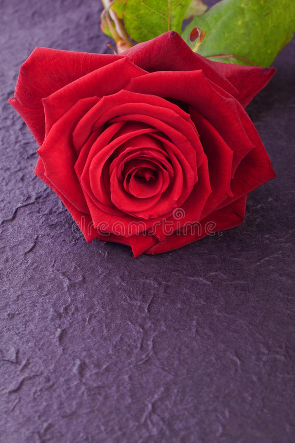 Single red rose for love