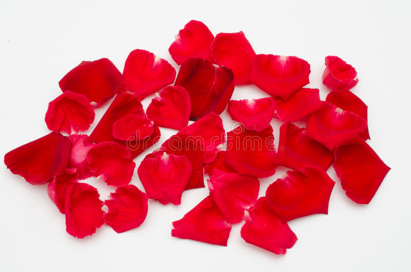Single red rose on white background stock photography