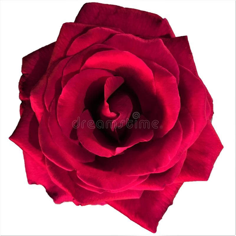 Single red rose on a white background royalty free stock images