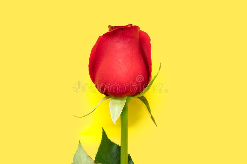 Single red rose on yellow background. Single red rose isolated on yellow background royalty free stock image
