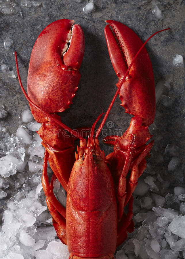 Single red steamed maine lobster on ice stock photography