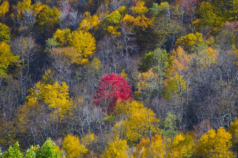 Red tree in autumn on Skyline Drive. A single red tree shows its colors in autumn in the forests in Skyline Drive, Virginia, near the Shenandoah Valley royalty free stock images