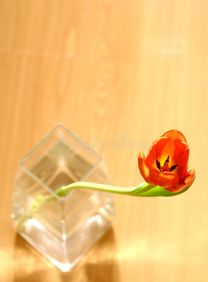 A single red tulip in clear vase royalty free stock photo