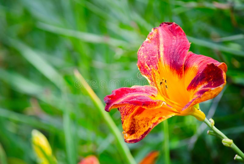 Single Red-yellow Daylily flower in a spring season at a botanical garden. A Single Red-yellow Daylily flower in a spring season at a botanical garden stock image