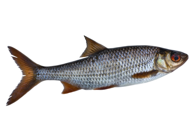 Single roach fish. Isolated on white background stock image