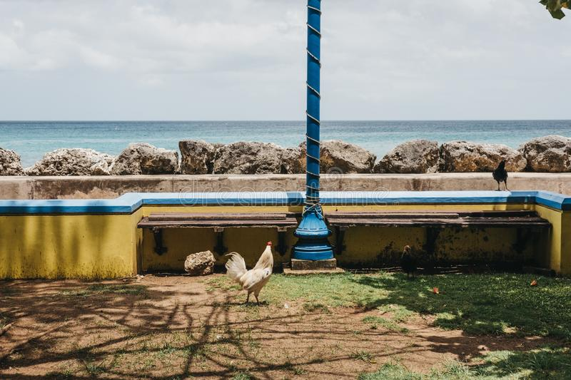 Rooster walking by the sea in Speightstown, Barbados. stock image