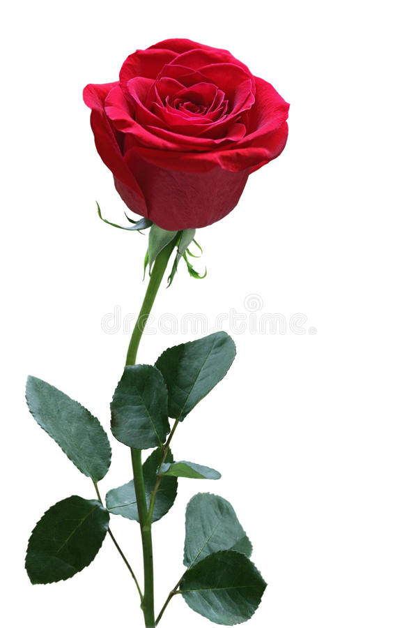 Download Single Rose Stock Photography - Image: 18487052
