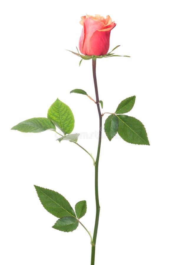 Single rose royalty free stock image